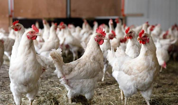 """Caen las ventas de pollo en el país debido a la enfermedad """"Newcastle"""""""