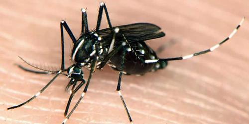 Cura para la Chikungunya